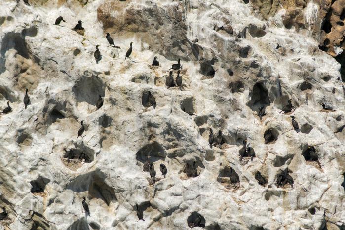 Гнездовья бакланов (700x466, 511Kb)