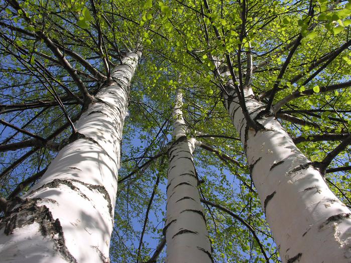 Birch-Trees (700x524, 686Kb)