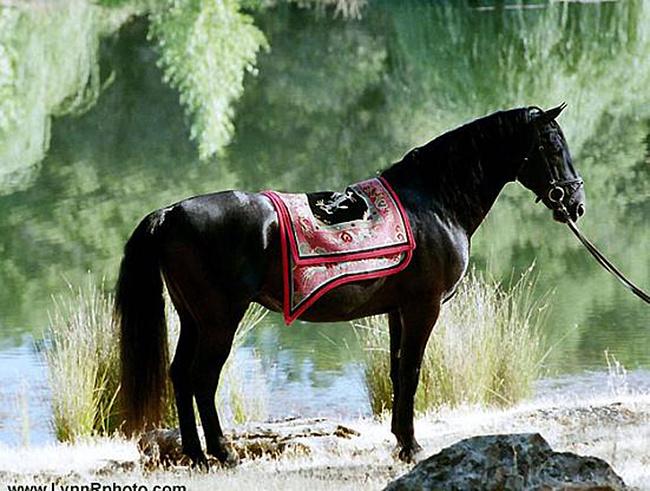 Липицианы - королевские белые лошади