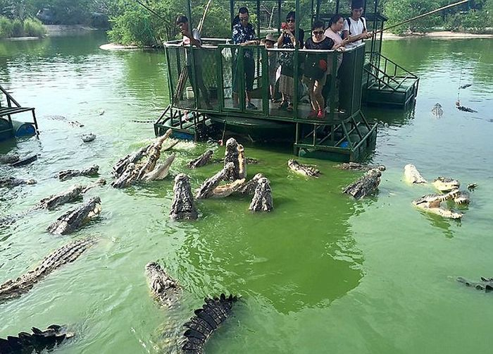 кормление крокодилов в таиланде фото 1 (700x502, 363Kb)