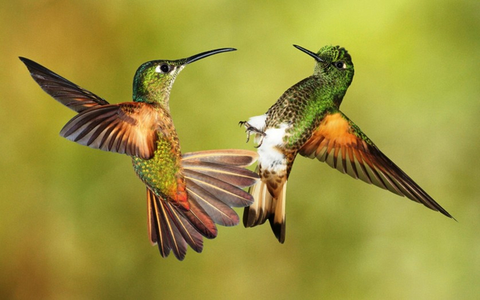Photos-of-Hummingbird-01 (700x437, 265Kb)
