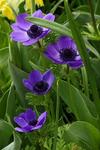 Превью k-anemone d.lila (427x640, 255Kb)