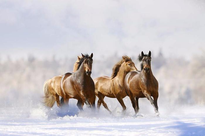 horses-snow (700x466, 198Kb)