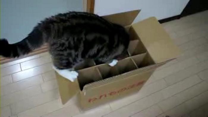 Кот не может залезть в коробку, хотя очень пытается это сделать