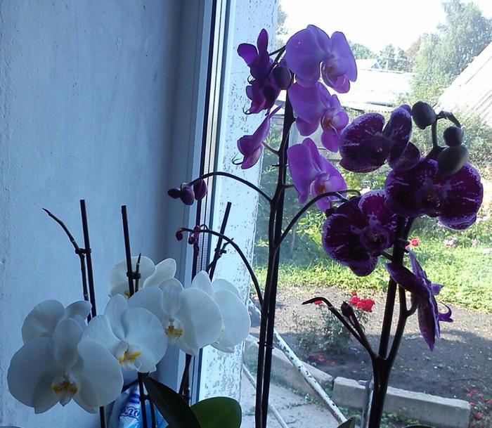 орхидеи подарки мои (700x609, 464Kb)