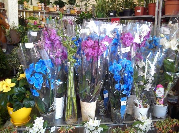 орхидеи магазин синяя сиреневая выбор (700x520, 470Kb)