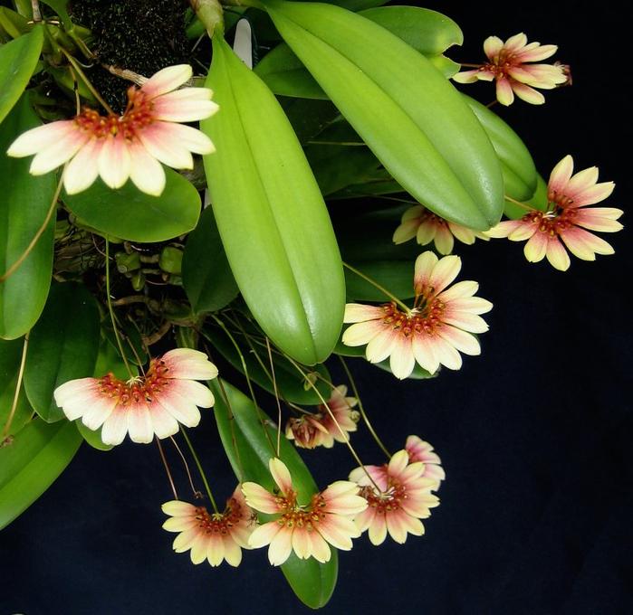 BulbophyllumLepidumBarneyCrop (700x680, 451Kb)