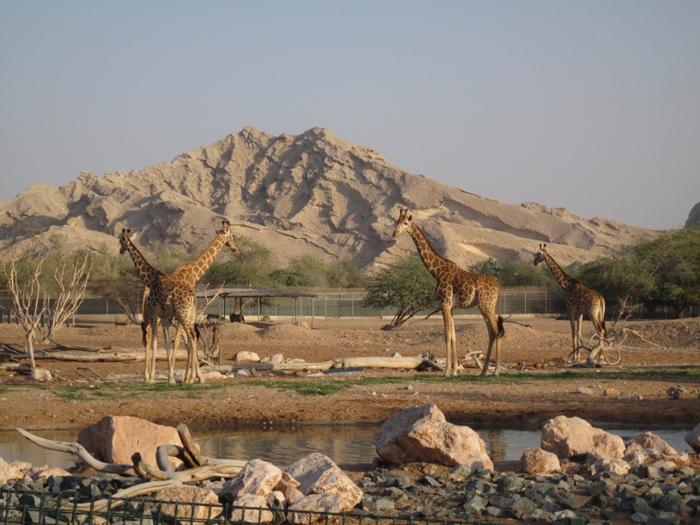 2666_800x600_al-ain-zoo (700x525, 412Kb)