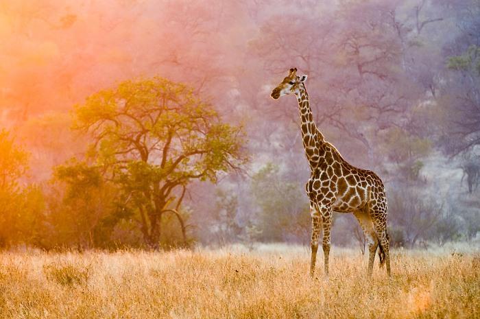 giraffes-01-thumb (700x465, 104Kb)