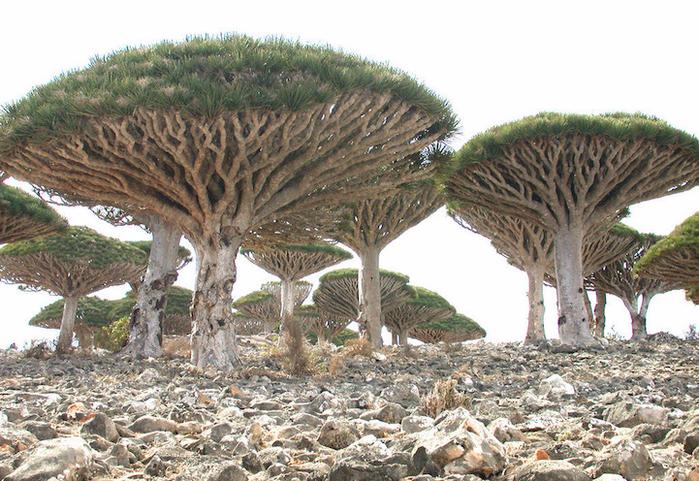 Socotra-22-1 (700x481, 535Kb)