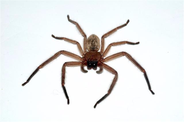 huntsman-spider-nz-i7 (640x426, 87Kb)