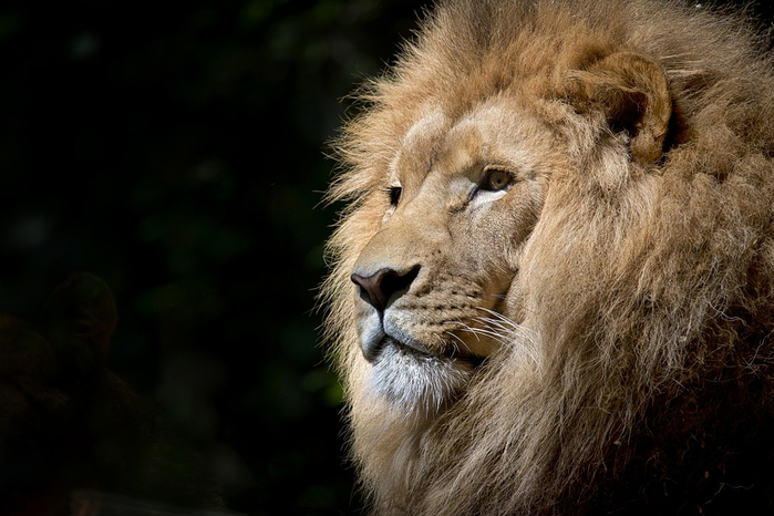 lion-1118467_960_720[1] (700x466, 293Kb)