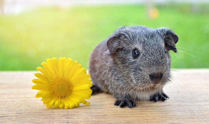 guinea-pig-785041_960_720[1] (700x415, 263Kb)