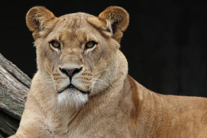 lion-341717_960_720[1] (700x466, 308Kb)