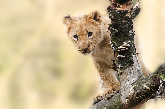 lion-565820_960_720[1] (700x465, 267Kb)