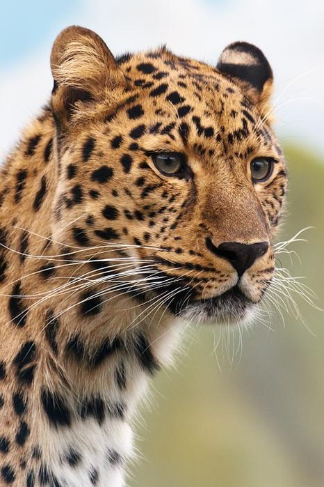 cheetah-19621_960_720[1] (466x700, 356Kb)