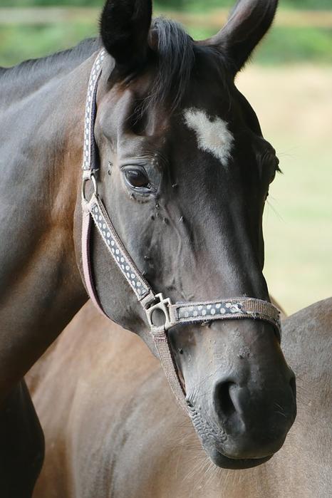 horse-1572722_960_720[1] (466x700, 286Kb)