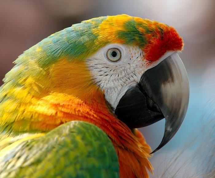 macaw-943228_960_720[1] (700x581, 435Kb)