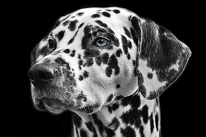 dalmatians-765138_960_720[1] (700x465, 166Kb)