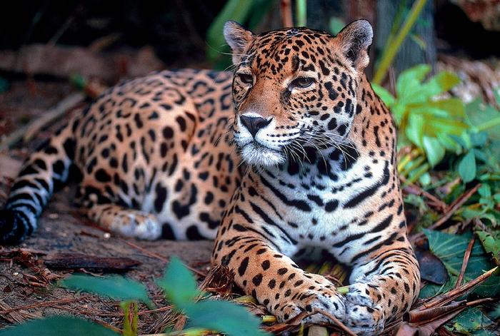 jaguar-1377982_960_720[1] (700x471, 454Kb)