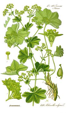 220px-Illustration_Alchemilla_vulgaris0_clean (220x370, 26Kb)