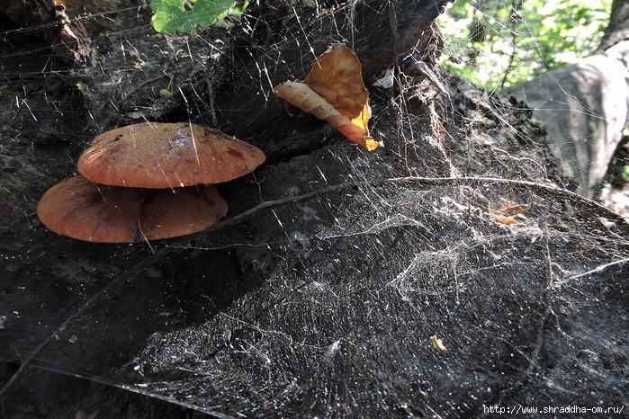 грибочки в паутине (700x466, 388Kb)