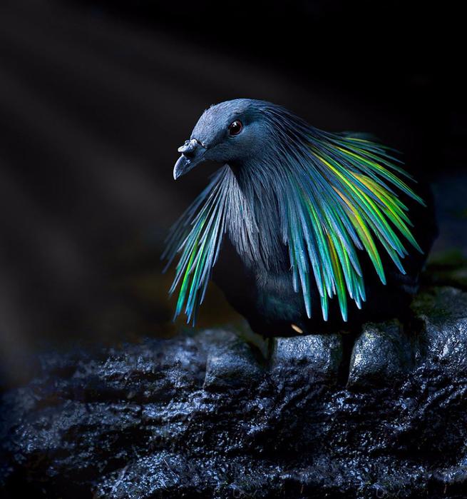 nicobar-pigeon-colorful-dodo-relative-9-2 (655x700, 436Kb)