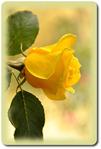 ������ откр.желтая роза (400x592, 172Kb)