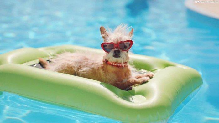 DogInSwimmingPoolWearingSunglassesImages (700x393, 33Kb)