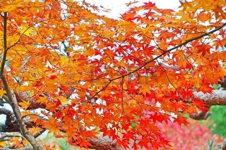 26143958-Красивые-листья-Оранжевый-Кленов (450x298, 289Kb)