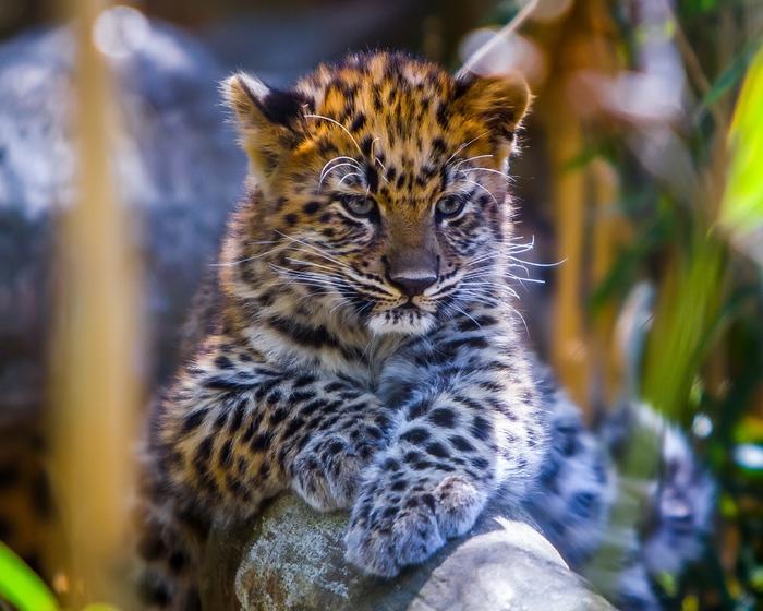 leopard_detenysh_vzglyad_khishchnik_102804_1280x1024 (700x560, 184Kb)