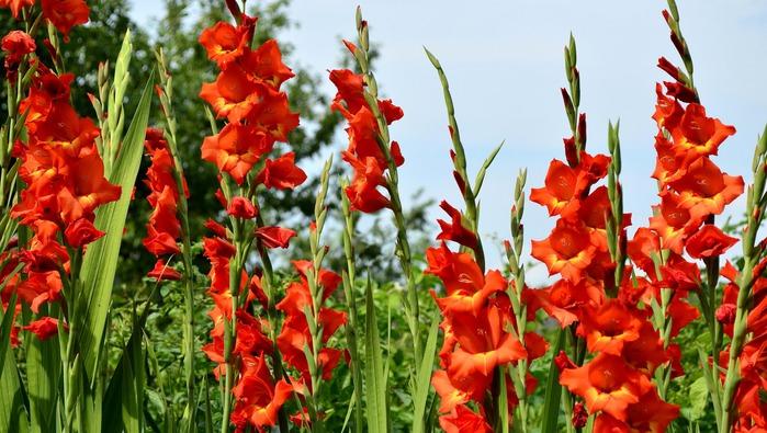 ����������, ����, �������, �������/5780941_gladiolusykrasnyekrupnym (700x395, 123Kb)