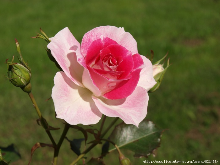 rosa (700x525, 157Kb)