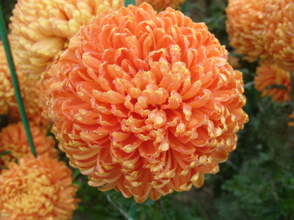 оранжевая хризонтема.original (600x450, 92Kb)