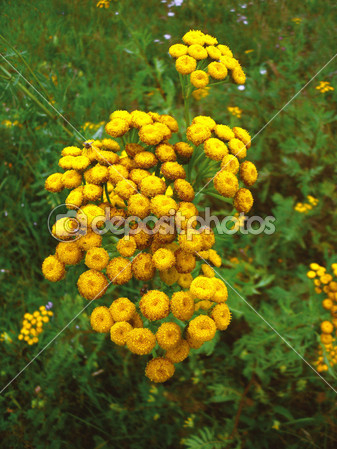 depositphotos_9673995-Yellow-flowers-tansy (337x449, 199Kb)