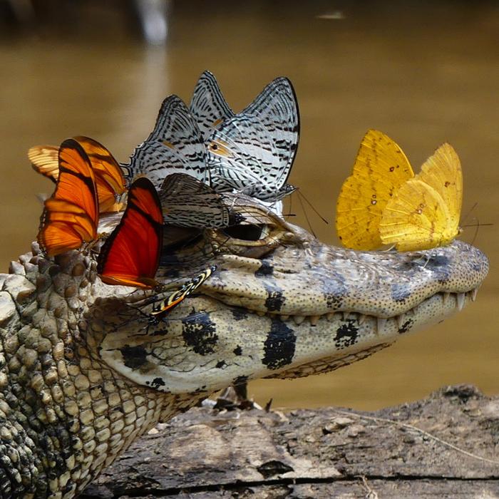 крокодил с бабочками2 (700x700, 627Kb)