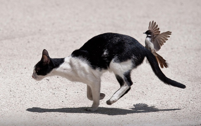 Bird-and-cat-fight-funny-wallpaper (700x437, 101Kb)