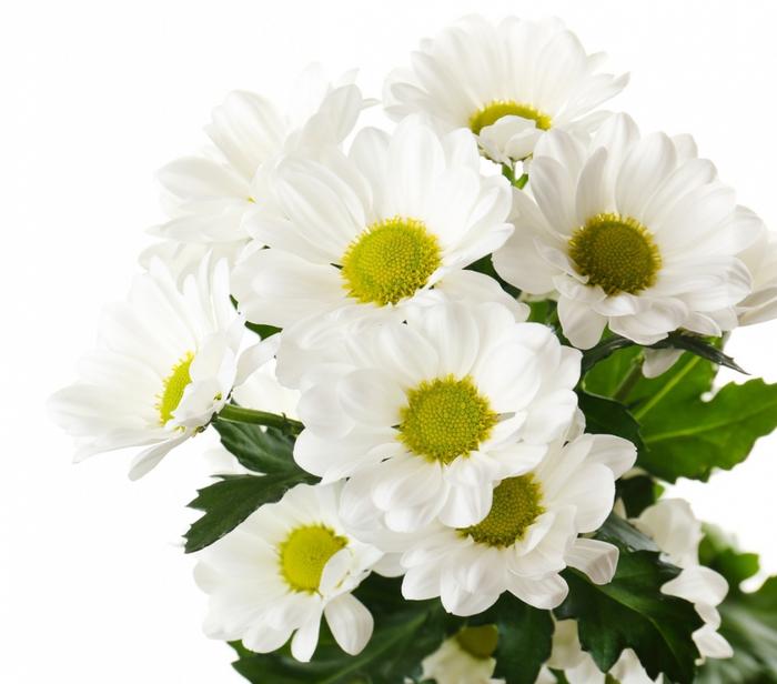2714816_Chrysanthemums_Closeup_454127 (700x616, 217Kb)