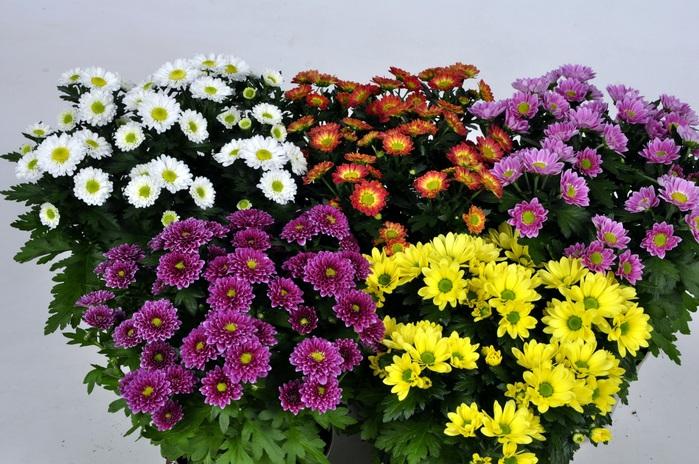 2714816_Chrysanthemums_Many_454670 (700x464, 168Kb)