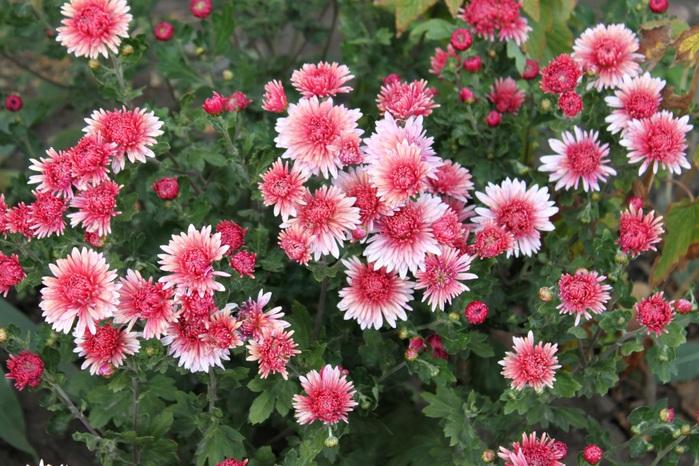 2714816_Chrysanthemums_Pink_455280 (700x466, 161Kb)