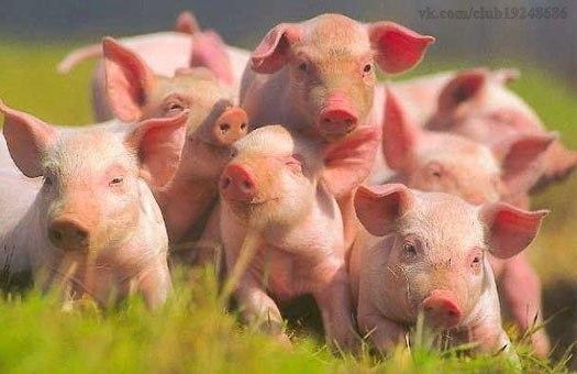 свиньи (525x340, 37Kb)