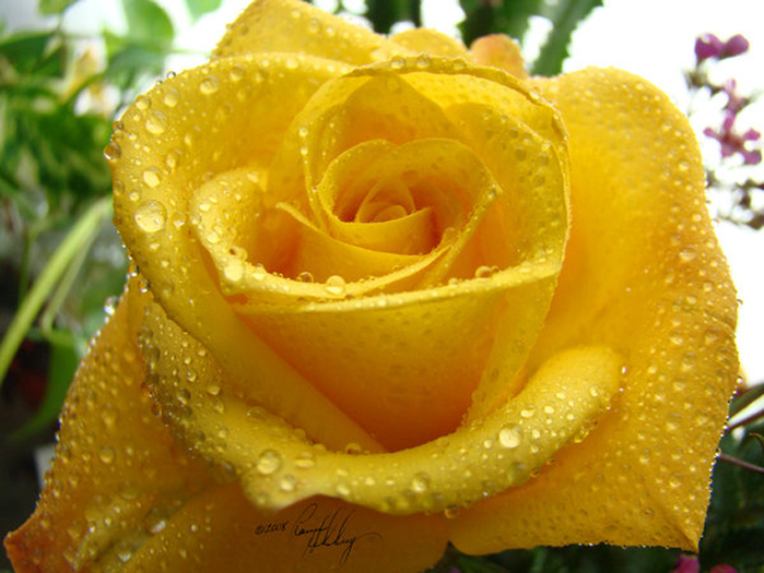 46310545_24293252_Yellow_Rose_Dew_by_GramMoo1 (699x525, 319Kb)