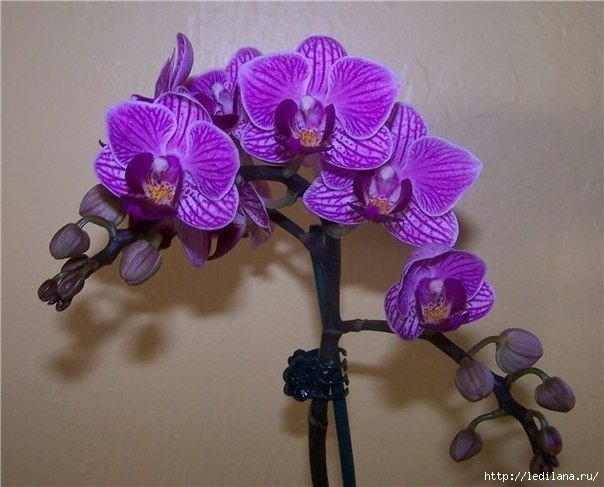 3925311_Kak_razmnojat_orhideu_falenopsis (604x487, 127Kb)