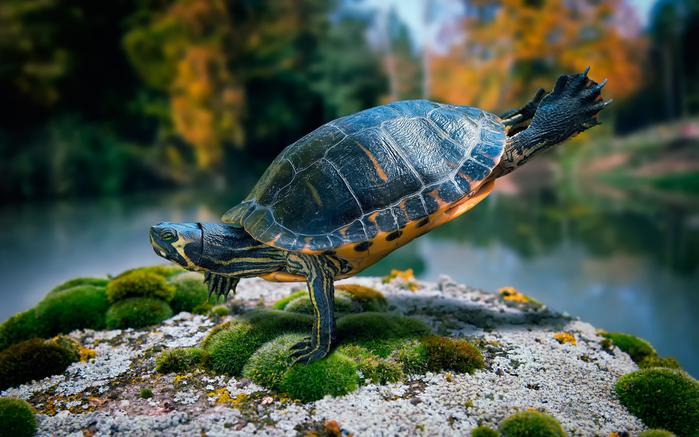 не могла пройти мимо - черепаха (700x437, 410Kb)