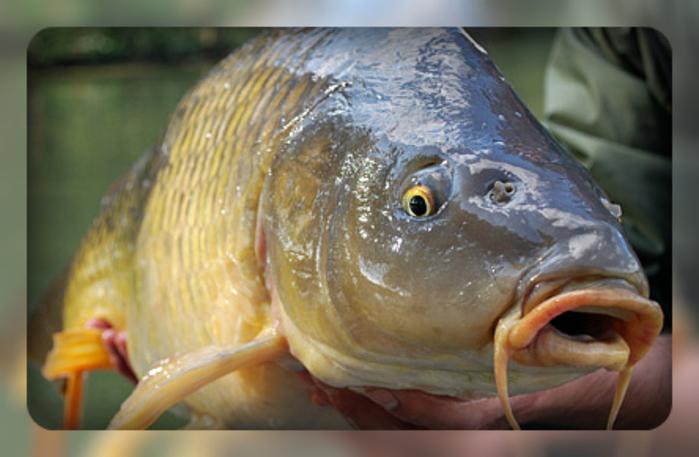 на что клюет прудовая рыба