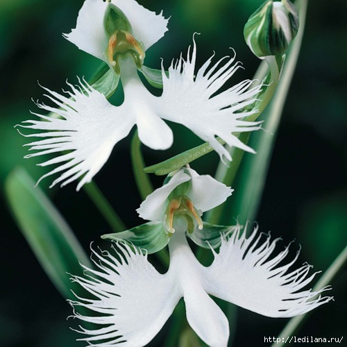 orquídea / 3925311_Bolshaya_Belaya_caplya_orhideya (500x500, 131Kb)