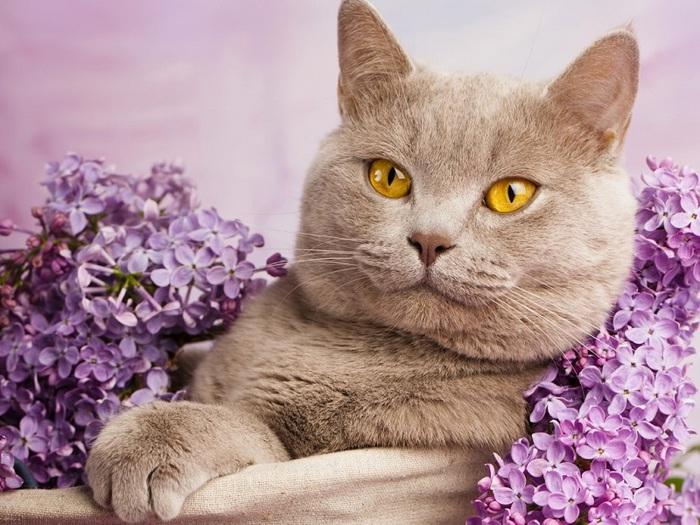 8-Лиловая британская короткошерстная кошка (700x525, 145Kb)