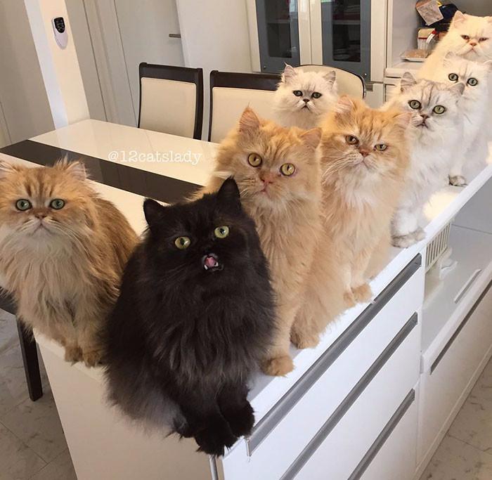 персидские кошки фото 1 (700x683, 296Kb)