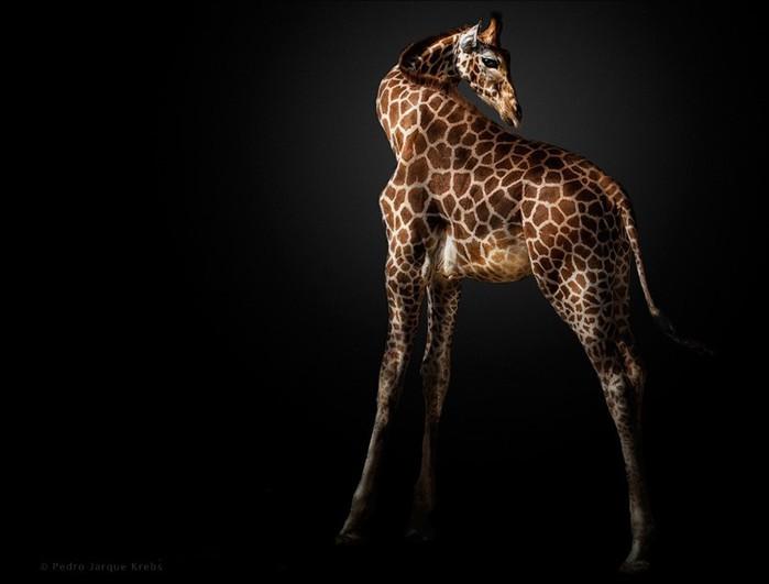 15 малоизвестных фактов о жирафах