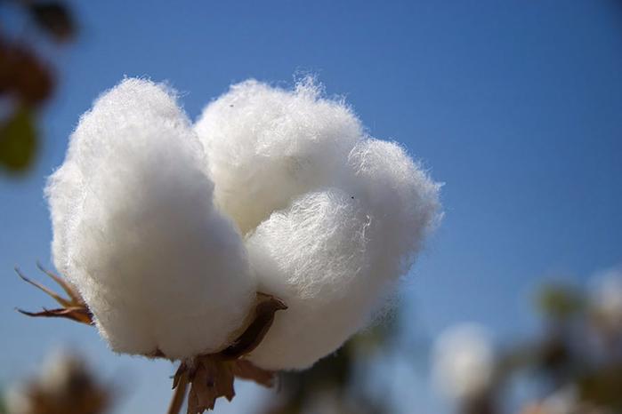 cotton-boll (700x466, 198Kb)